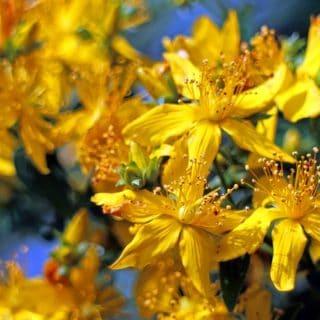Der pflanzliche Stimmungsaufheller Johanniskraut behandelt leichte Depressionen