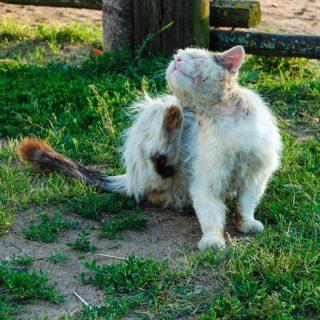 Milben bei Katzen lösen Juckreiz und Hautentzündung aus. Natürliche Behandlung mit Hausmitteln