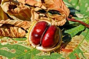 Naturheilmittel wie Rosskastanie helfen Krampfadern zu entfernen - ganz ohne OP