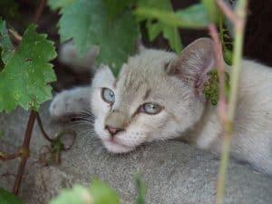 Wenn die Katze erbricht können Hausmittel zur natürlichen Behandlung eingesetzt werden