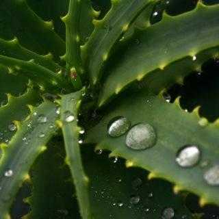 Als eines der besten natürlichen Abführmittel hilft Aloe Vera schnell bei Verstopfung