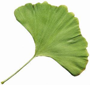 Als natürliches Alzheimer Hausmittel ist der Extrakt aus Ginkgo biloba sehr geschätzt