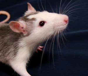 Bei Ratten im Haus helfen einige Hausmittel und Tipps, die Plage schnell wieder loszuwerden