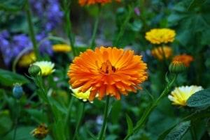 Calendula ist ein gutes Bienenstich Hausmittel das die allergische Reaktion lindert