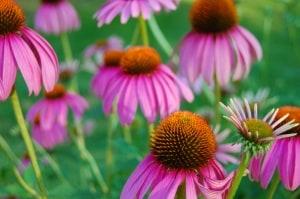 Das Extrakt der Echinacea unterstützt die schnelle Heilung bei Halsschmerzen.Das Extrakt der Echinacea unterstützt die schnelle Heilung bei Halsschmerzen.