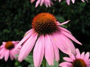 Die Heilpflanze Echinacea ist ein bewährtes Grippemittel.