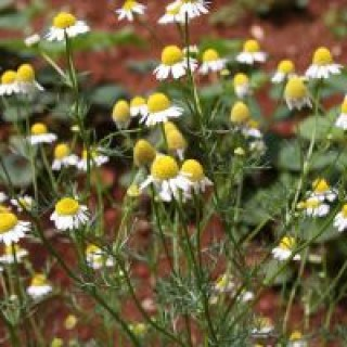 Die Heilpflanze Kamille bekämpft natürlich Regelschmerzen und Verkrampfungen bei Frauen
