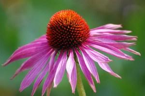 Echinacea ist ein Immunsystem stärkendes Hausmittel das auch gegen Erkältung und Grippe hilft