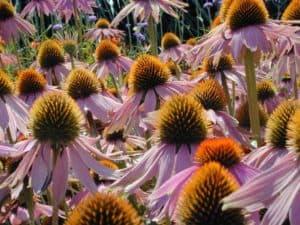 Echinacea ist ein wirksames natürliches Antibiotikum gegen viele Infektionen