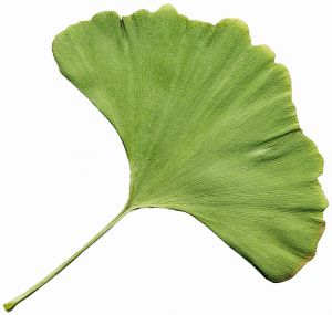 Ein gutes natürliches Heilmittel bei Impotenz ist Ginkgo biloba
