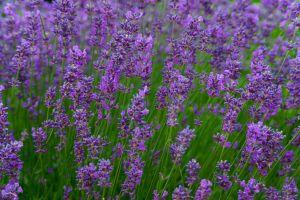 Ein stressabbauendes und verspannungslösendes Hausmittel ist Lavendel