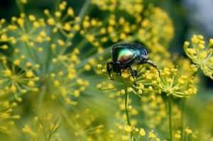 Fenchel ist eine alte Heilpflanze die gegen Völlegefühl und Blähungen als Hausmittel verwendet wird