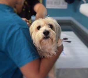 In schweren Fällen bei eingeklemmtem Nerv bei Hunden kann nur die Operation durch den Tierazt helfen