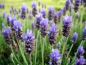 Lavendel bekämpft ganz natürlich Silberfische in Bad, Küche und Schlafzimmer
