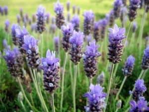 Lavendelöl Anwendung als Hausmittel