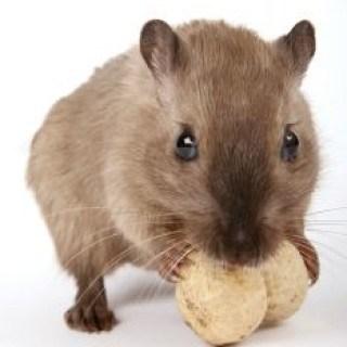 Mäuse in Haus und Wohnung bekämpfen mit Hausmitteln