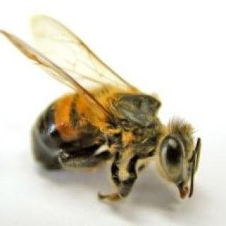 Nach einem Bienenstich können Hausmittel Schmerzen und Schwellungen behandeln