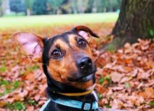 Natürliche Hausmittel helfen bei der Behandlung von Ohrenentzündung bei Hunden