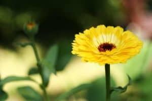 Omas Hausmittel gegen Schürfwunden ist Ringelblumensud gegen Entzündungen der Verletzung