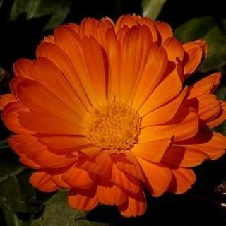 Ringelblumen behandeln als natürliches Schuppenflechte Hausmittel Juckreiz und Rötungen.
