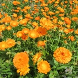 Ringelblumen helfen natürlich als Hausmittel gegen juckenden Hautausschlag und Ekzeme