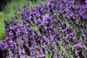 Um Angst natürlich zu behandeln kann Lavendel als gutes Heilmittel verwendet werden
