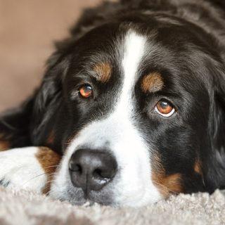 Wenn der Hund Schmerzen durch einen eingeklemmten Nerven hat
