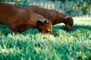 Wenn Hunde zu viel Gras fressen kann das eine Ursache für Durchfall sein