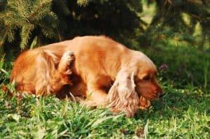 Wenn sich der Hund ständig kratzen muss können natürliche Hausmittel den Juckreiz lindern helfen