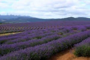 Wirkung von Lavendelöl